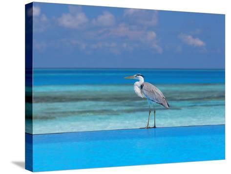 Blue Heron Standing in Water, Maldives, Indian Ocean-Papadopoulos Sakis-Stretched Canvas Print