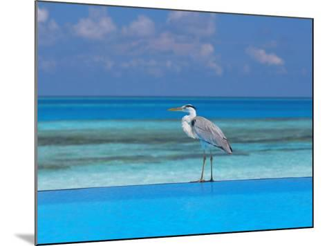 Blue Heron Standing in Water, Maldives, Indian Ocean-Papadopoulos Sakis-Mounted Photographic Print