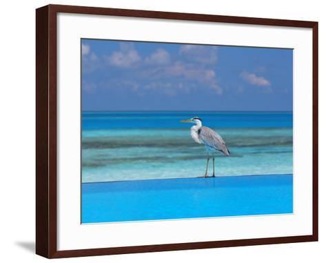 Blue Heron Standing in Water, Maldives, Indian Ocean-Papadopoulos Sakis-Framed Art Print