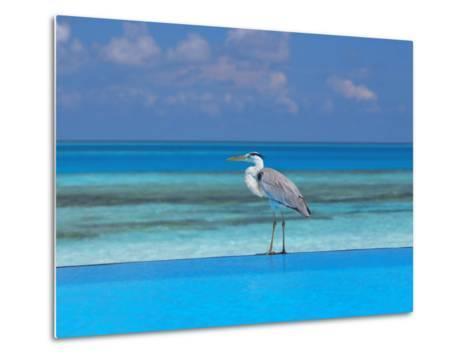 Blue Heron Standing in Water, Maldives, Indian Ocean-Papadopoulos Sakis-Metal Print