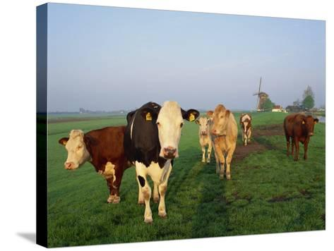 Cows on a Polder in the Early Morning, with a Windmill in the Background, in Holland, Europe-Groenendijk Peter-Stretched Canvas Print