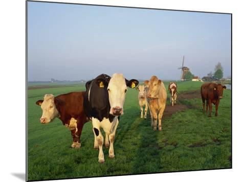 Cows on a Polder in the Early Morning, with a Windmill in the Background, in Holland, Europe-Groenendijk Peter-Mounted Photographic Print