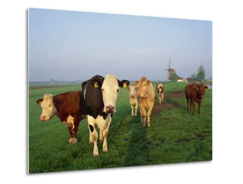 Cows on a Polder in the Early Morning, with a Windmill in the Background, in Holland, Europe-Groenendijk Peter-Metal Print