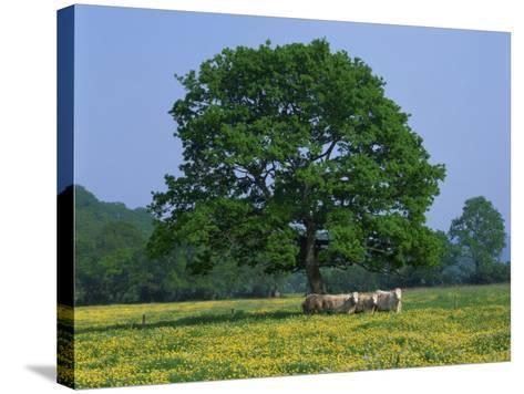 Agricultural Landscape of Cows Beneath an Oak Tree in a Field of Buttercups in England, UK--Stretched Canvas Print