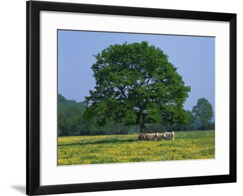 Agricultural Landscape of Cows Beneath an Oak Tree in a Field of Buttercups in England, UK--Framed Art Print