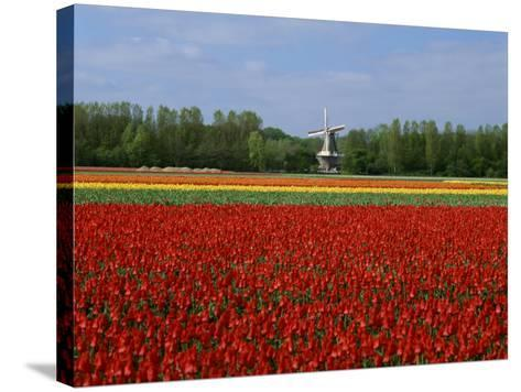 Field of Tulips with a Windmill in the Background, Near Amsterdam, Holland, Europe--Stretched Canvas Print
