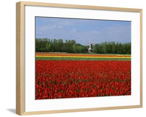 Field of Tulips with a Windmill in the Background, Near Amsterdam, Holland, Europe--Framed Art Print