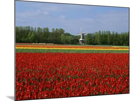 Field of Tulips with a Windmill in the Background, Near Amsterdam, Holland, Europe--Mounted Photographic Print