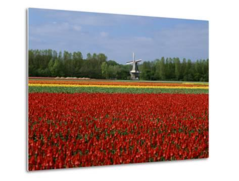 Field of Tulips with a Windmill in the Background, Near Amsterdam, Holland, Europe--Metal Print