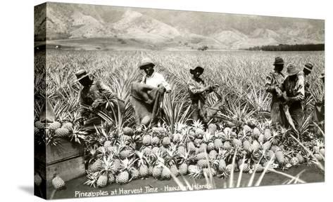 Harvesting Pineapples, Hawaii--Stretched Canvas Print