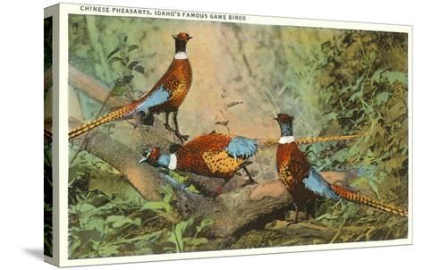 Chinese Pheasants, Idaho--Stretched Canvas Print