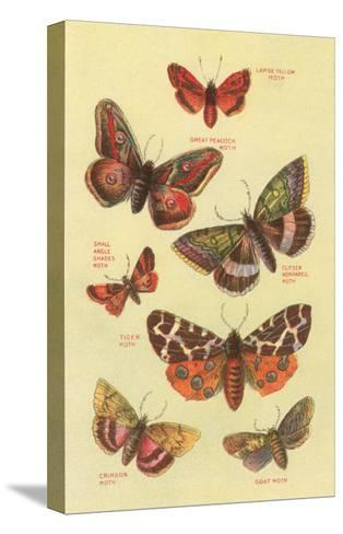 Moths--Stretched Canvas Print