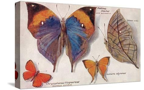 Interesting Butterflies--Stretched Canvas Print