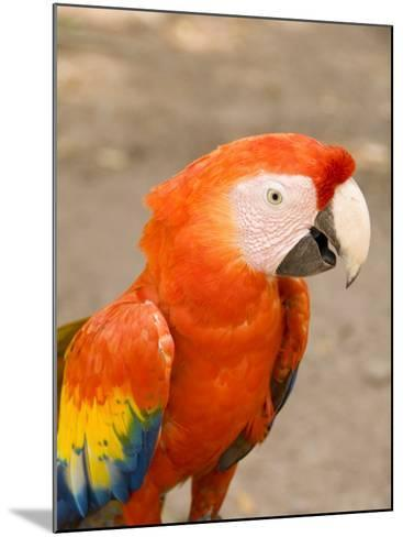 Colorful Red Macaw Bird, Copan Ruins, Honduras-Bill Bachmann-Mounted Photographic Print