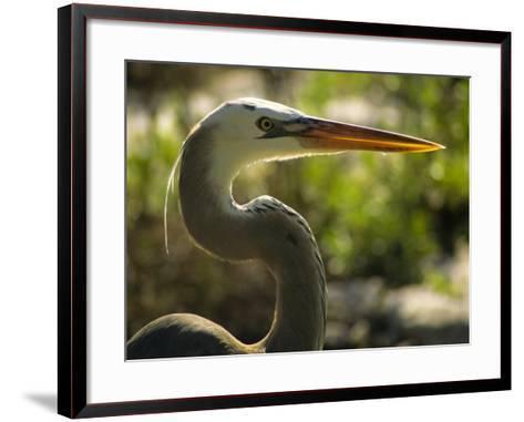 Great Blue Heron, Florida, USA-Ellen Clark-Framed Art Print