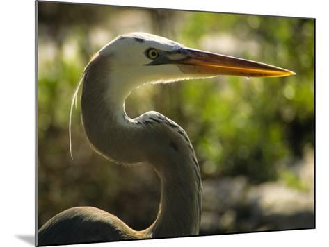 Great Blue Heron, Florida, USA-Ellen Clark-Mounted Photographic Print