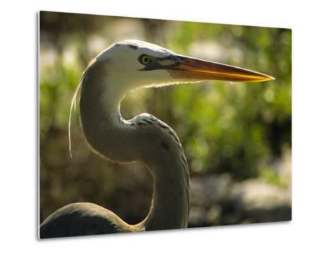 Great Blue Heron, Florida, USA-Ellen Clark-Metal Print