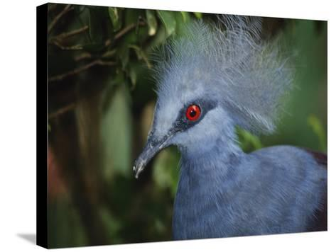 Exotic Blue Red-Eyed Bird, Kuala Lumpur Bird Park, Malaysia-Ellen Clark-Stretched Canvas Print