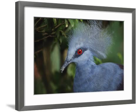 Exotic Blue Red-Eyed Bird, Kuala Lumpur Bird Park, Malaysia-Ellen Clark-Framed Art Print