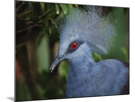 Exotic Blue Red-Eyed Bird, Kuala Lumpur Bird Park, Malaysia-Ellen Clark-Mounted Photographic Print