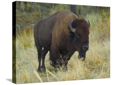 American Bison Buffalo, National Bison Range, Montana, USA-Charles Crust-Stretched Canvas Print