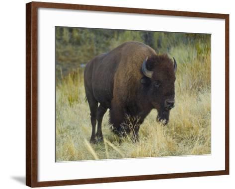 American Bison Buffalo, National Bison Range, Montana, USA-Charles Crust-Framed Art Print