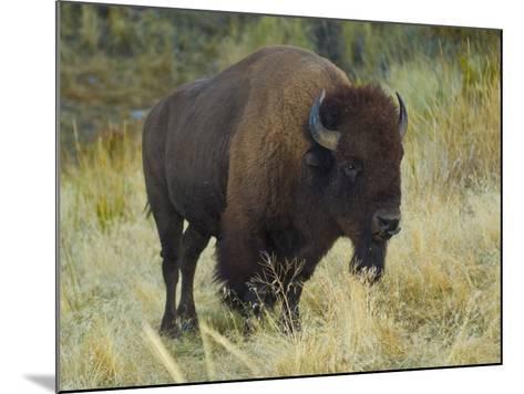 American Bison Buffalo, National Bison Range, Montana, USA-Charles Crust-Mounted Photographic Print