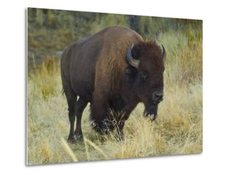 American Bison Buffalo, National Bison Range, Montana, USA-Charles Crust-Metal Print