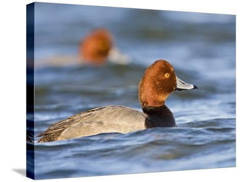 Redhead Duck Swimming on the Laguna Madre, Texas, USA-Larry Ditto-Stretched Canvas Print