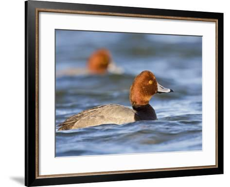 Redhead Duck Swimming on the Laguna Madre, Texas, USA-Larry Ditto-Framed Art Print