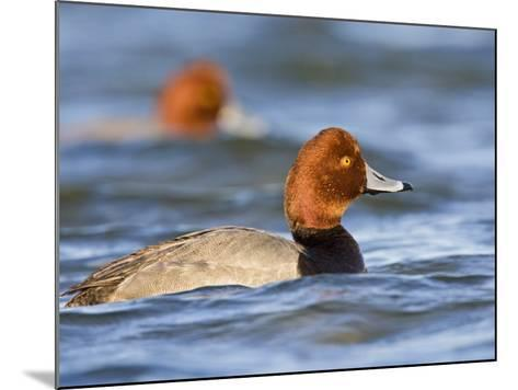 Redhead Duck Swimming on the Laguna Madre, Texas, USA-Larry Ditto-Mounted Photographic Print