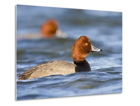 Redhead Duck Swimming on the Laguna Madre, Texas, USA-Larry Ditto-Metal Print