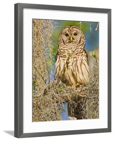Barred Owl perched in cypress tree, Texas, USA-Larry Ditto-Framed Art Print