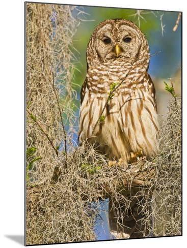Barred Owl perched in cypress tree, Texas, USA-Larry Ditto-Mounted Photographic Print