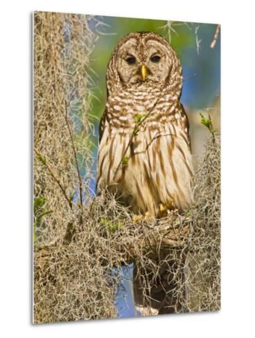 Barred Owl perched in cypress tree, Texas, USA-Larry Ditto-Metal Print
