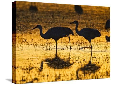 Sandhill Cranes wading, Bosque del Apache National Wildlife Refuge, Socorro, New Mexico, USA-Larry Ditto-Stretched Canvas Print