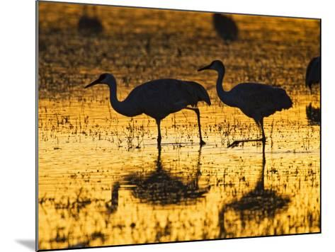 Sandhill Cranes wading, Bosque del Apache National Wildlife Refuge, Socorro, New Mexico, USA-Larry Ditto-Mounted Photographic Print