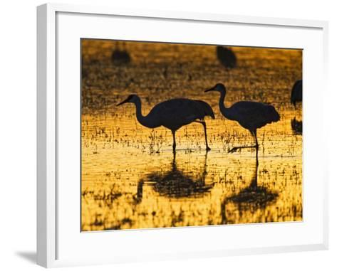 Sandhill Cranes wading, Bosque del Apache National Wildlife Refuge, Socorro, New Mexico, USA-Larry Ditto-Framed Art Print