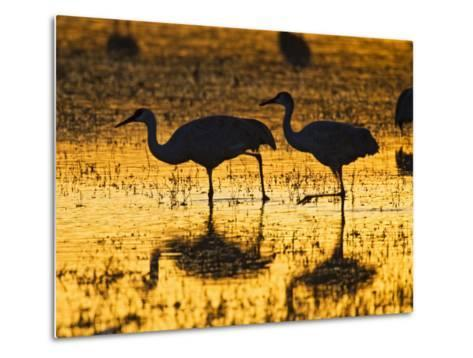 Sandhill Cranes wading, Bosque del Apache National Wildlife Refuge, Socorro, New Mexico, USA-Larry Ditto-Metal Print