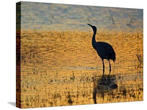 Sandhill Crane drinking in pond, Bosque del Apache National Wildlife Refuge, Socorro, New Mexico-Larry Ditto-Stretched Canvas Print
