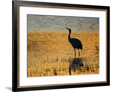Sandhill Crane drinking in pond, Bosque del Apache National Wildlife Refuge, Socorro, New Mexico-Larry Ditto-Framed Art Print