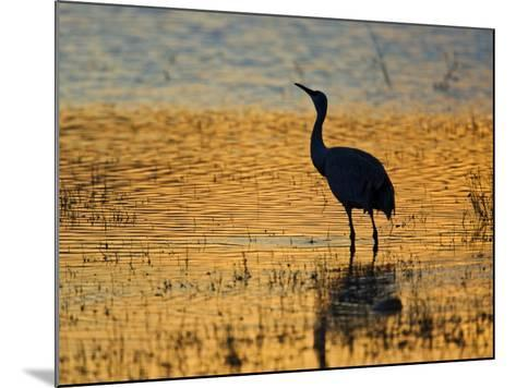Sandhill Crane drinking in pond, Bosque del Apache National Wildlife Refuge, Socorro, New Mexico-Larry Ditto-Mounted Photographic Print