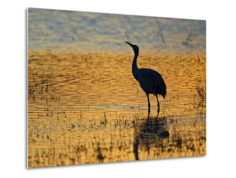 Sandhill Crane drinking in pond, Bosque del Apache National Wildlife Refuge, Socorro, New Mexico-Larry Ditto-Metal Print