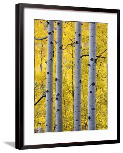 Autumn Aspen Stand, Yankee Boy Basin, Colorado, USA-Terry Eggers-Framed Art Print