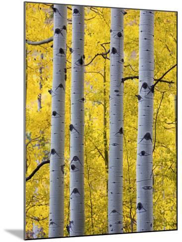 Autumn Aspen Stand, Yankee Boy Basin, Colorado, USA-Terry Eggers-Mounted Photographic Print