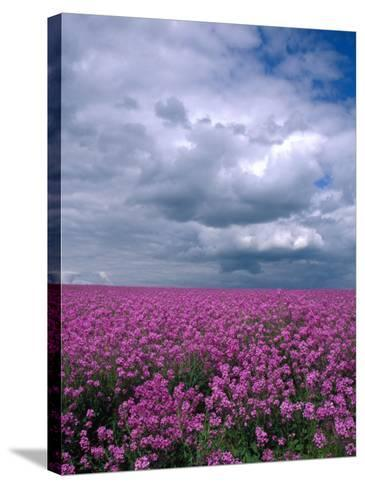 Field of Dames Rocket and Clouds, Oregon, USA-Julie Eggers-Stretched Canvas Print