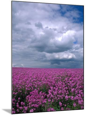 Field of Dames Rocket and Clouds, Oregon, USA-Julie Eggers-Mounted Photographic Print