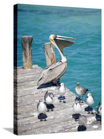Pelican, Isla Mujeres, Quintana Roo, Mexico-Julie Eggers-Stretched Canvas Print