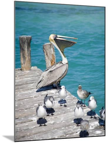 Pelican, Isla Mujeres, Quintana Roo, Mexico-Julie Eggers-Mounted Photographic Print
