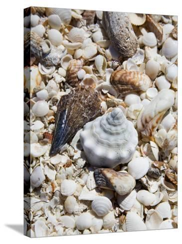Shells on The Beach, Puerto Telchac, Mexico-Julie Eggers-Stretched Canvas Print